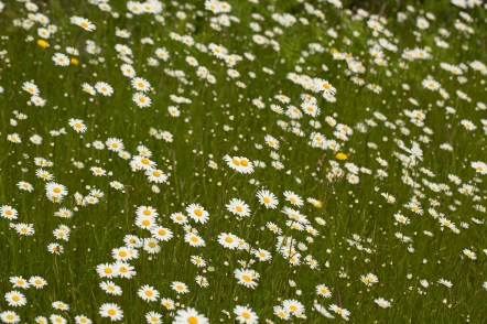 Oxeye Daisies - Campion Hill