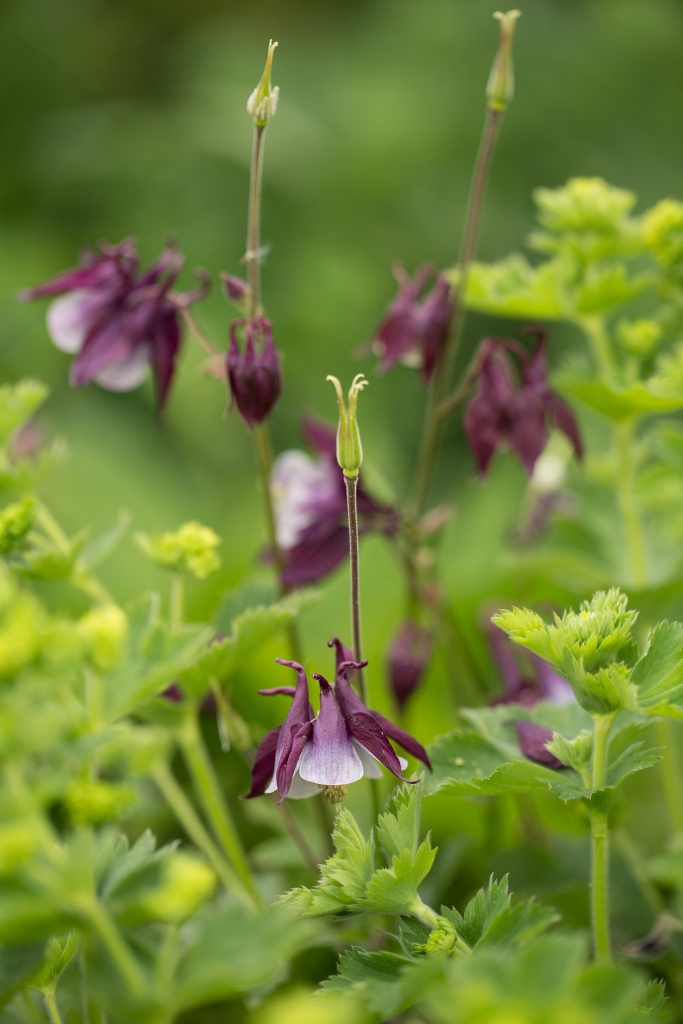 A wonderful colour combination of purple Aquilegia and Alchemilla Mollis