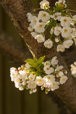 Cherry Blossom - Stella