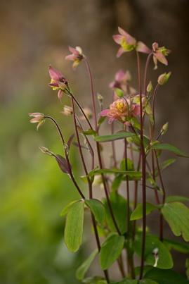 Aquilegia vulgaris - Clementine Salmon Rose Barlow
