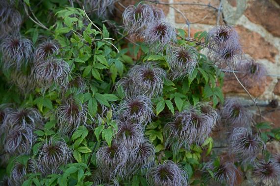 Sissinghurst - Clematis
