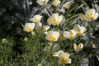 Sissinghurst - Californian Poppies