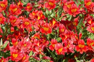 Sissinghurst - Alstroemeria