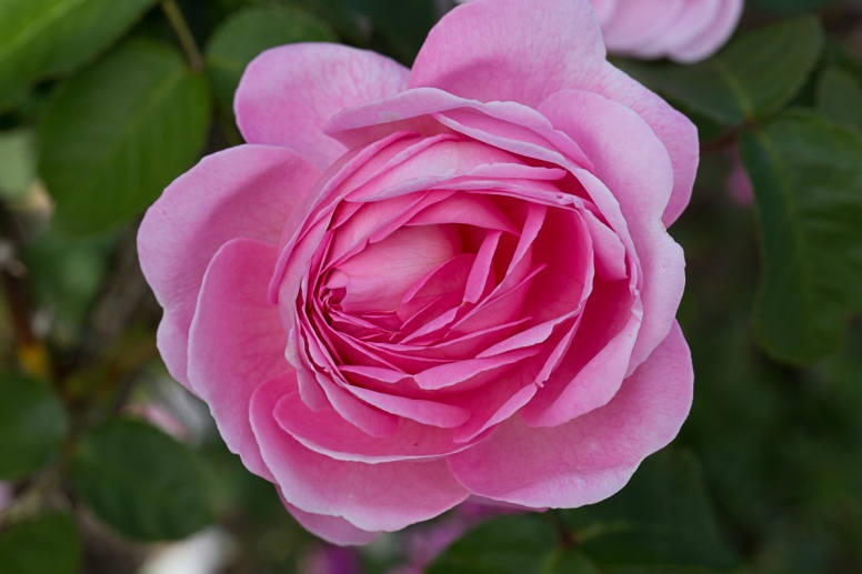 Sissinghurst - Rose