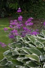 Sissinghurst - Hosta & Primula