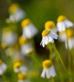 Sunny Side Up - Chamomile Daisy