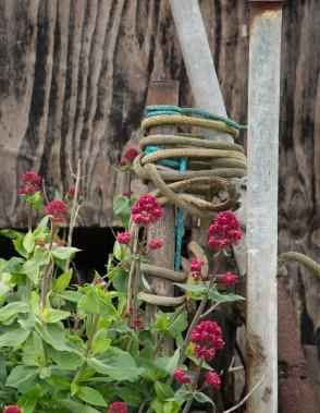 Red Valerian - Centranthus ruber at Aldeburgh