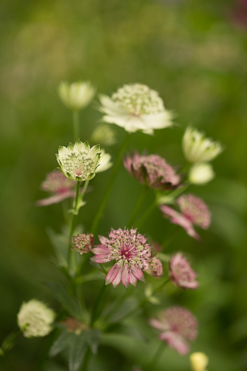 Mixed Astrantias