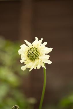 Cephalaria gigantia