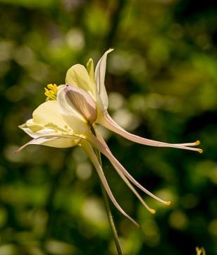 Aquilegia longifolia
