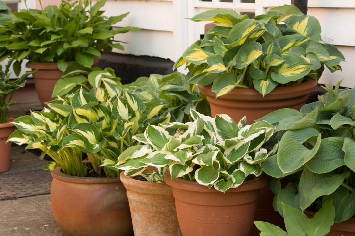 Hostas in Boxford