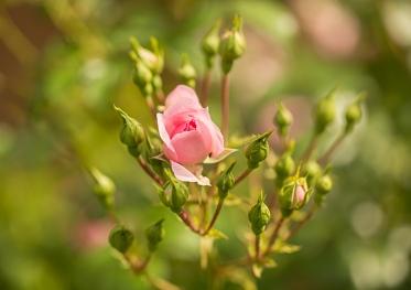 Bonica Rosebud