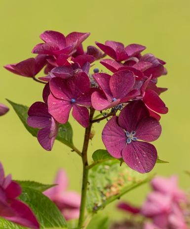 Hydrangea macrophylla 'Rotschwanz' (Teller Series)