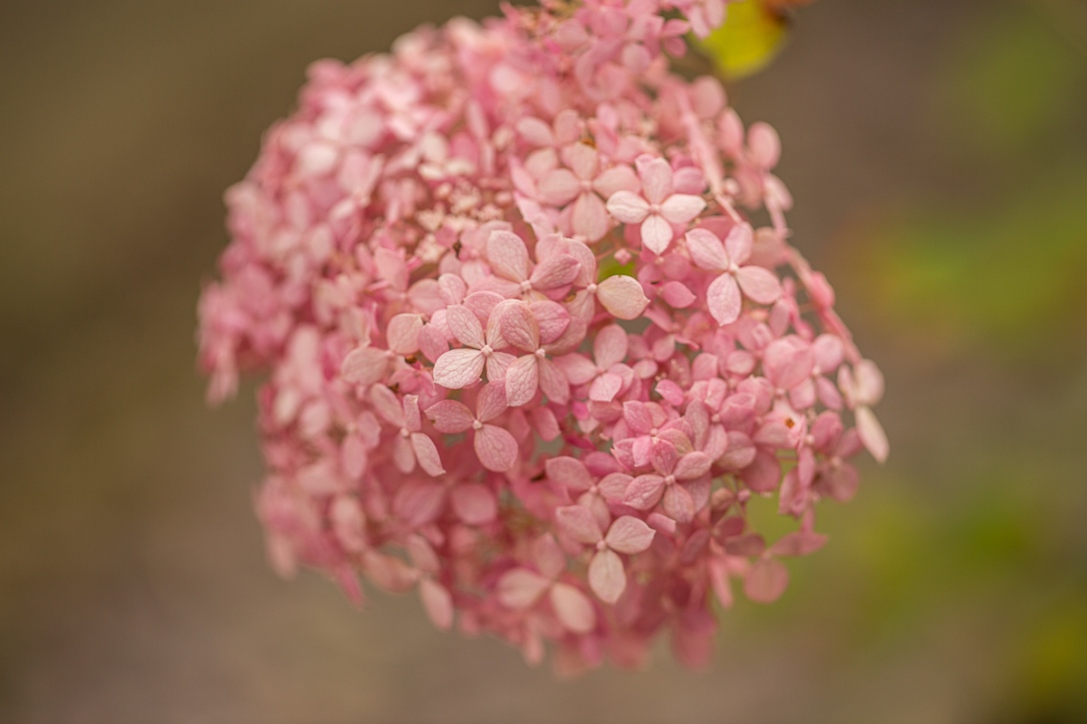 Hydrangea arborescens 'Invincibelle Spirit'