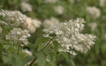 Hydrangea grandiflora 'Paniculata'