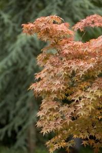 Acer & Cedar Trees