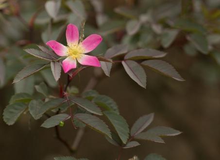 Delicate Rambling Rose