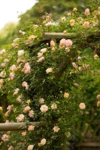 Rose - Phyllis Bide