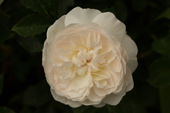 Beautiful Cupped Rose