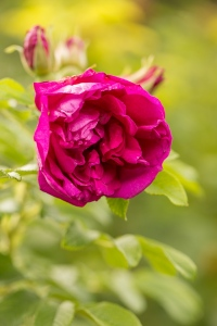 Wyken Hall - Rose