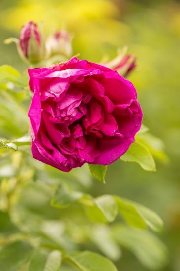 Wyken Hall - Rose