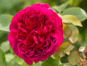 Wyken Hall Rose