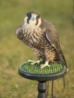 Bane the Peregrine Falcon
